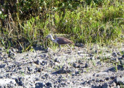 heron walking matanzas inlet
